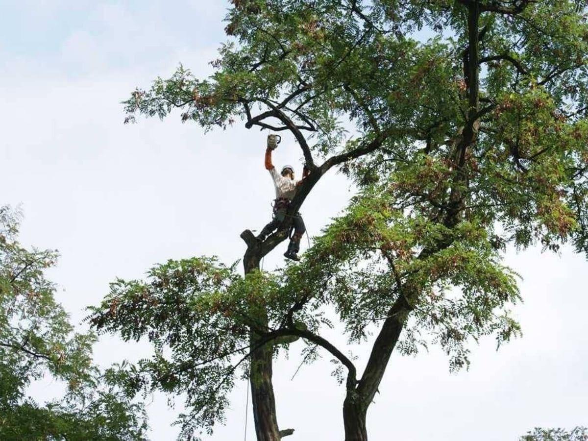 Taille d'arbres et arbustes avec Laurenty